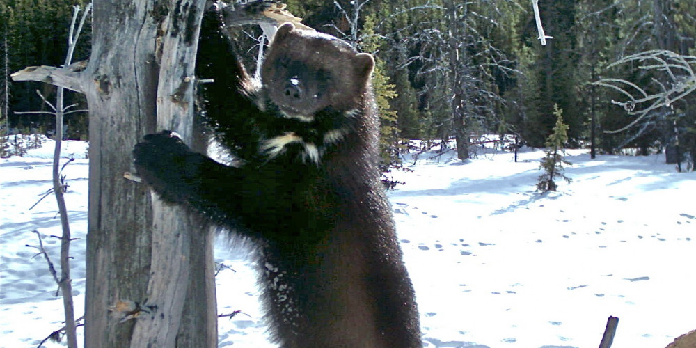 WOLVERINE: GHOST OF THE NORTHERN FOREST